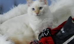 Looking For A Cuddly Cream Point Ragdoll To Keep Warm This Winter? Well Harley Davidson Is You Guy. Harley Now Has a Forever Home In Edmonton.   My Name Is Twitter Bug I am 3 years old. I am a beautiful blue/cream tortie I am gentle, quite and very