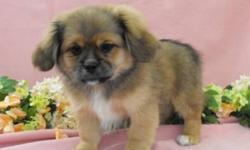 Will be able to deliver on Monday to Regina and Moose Jaw. They have the beautiful non shedding coats of the maltese mom and their pekingese dad. There is one female available ( 1st picture) and one male ( second picture). Gorgeous faces with the Peke