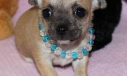 HURRY HURRY HURRY WE ARE SO EXCITED ABOUT THE WONDERFUL NEW PUPPIES WE HAVE FOR ADOPTION.IF YOUR LOOKING FOR A TOP QUALITY REGISTERED CHIHUAHUA YOU HAVE FOUND THEM. I HAVE SEVERAL RARE COLOURS AND MARKING TO PICK FROM. THERE ARE BOTH LONG AND SHORT HAIR