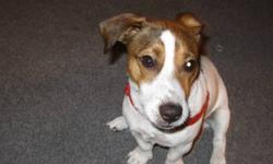 Hi, I know this is a long shot but gotta try... Almost two years ago we made the tough decision to give our dog a up due to not being around enough and living in a small aprtment. He was two years at the time, male Jack Russell. The girl we gave him to