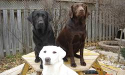 I have a litter of 8 purebred Labs,6 males(3 black, 3 yellow) and 2 females(one black, one yellow).The Yellows vary in colour from light cream to fox-red. Both parents are on site. Father is a purebred Black Lab and the mother is a purebred Yellow Lab.