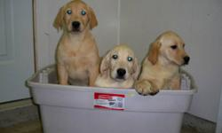 We have 2 females and 1 male left. These puppies have had their first visit at the vet and have had their first shots and been dewormed. These puppies would like to celebrate Christmas with their new family.