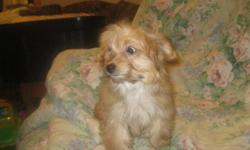 last puppy    yorki poodle cross female  mostly trained will be 5--6 lb adult   weighs 3 1/2 lbs right now . she is very freindly good with children  . has had 1st and 2nd shot and been dewormed 3 times ready for loving forever home   loves to held this