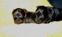 These pictures were taken at 19 days old. They will not be ready to go for 5 weeks ( second week in Nov) however I thought I would post an ad so anyone who is interested can place a deposit to hold. This litter was born to a registered female Poodle and a