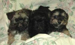 Microchipped Yorkie Cross Puppies for sale! They're adorable, they're dewormed and have their vaccinations!   1st Picture: Girls 2nd:Boys 3rd:Girls 4th:Boys