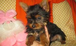 I have unregistered 3 to 4 mos old female Yorkies They will mature 4 to 5 lbs. Each pup has a healthy vet check (records included), has all three 5-way puppy vaccinations, de-wormed regularly, tail docked, dew-claws removed.   These girls are very