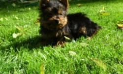 Yorkshire Terrier puppy ready to go to his new home.  He has had his first set of shots with a vet certificate and has had his dewclaws and tail done and he has been dewormed regularly.  He is home raised with his Mom and Dad.  He is great with children