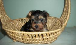 I have a Yorkie puppy for sale. He will be ready to go to his new home anytime after Dec 20th 600.00 705-663-1316