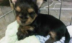 We have had 4 beautiful boys born on December 4th, they are thriving and doing well. They will be ready for their forever home by the beginning to the middle of February.   Mom is a 4 lb 3/4 Yorkie 1/4 Maltese, and Dad is a 3 lb purebred Yorkie. Both