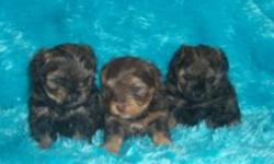 ??? YORKIE P00 ???   BORN OCTOBER 24 2011   TWO MALES LEFT (First Male Sold)    AVAILABLE MID DEC  $600 One Year Health Guarantee   Vet checked, first shots, dewormed Parents onsite   Ready For Christmas