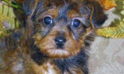 This little girl will mature to approx. 5-6lbs,  Father  is pure yorkshire terrier, and mother is a yorkie poo. She has beatiful colors, and she is a very affectionate, loving dog. She has been dewormed and has her  first vacinations. This little sweet