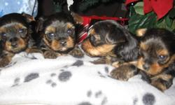 We have 4 adorable, very tiny, cute and playful Yorkie puppies for sale.  There are 3 females and 1 male looking for great homes in early January.  These puppies have excellent temperment and are non shedding.  They have their tails docked and will get
