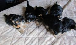 Ready to go around 20th dec. Shots ,Dewormed etc..Full breed yorkies..Three females and two males..