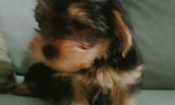 2 Girl Yorkie puppies left for sale in Lower Sackville. Come from 2 Pure Breed parents. Vet check with full revolution. Asking 650.00 but will consider reasonable offer. Please call 864-5481 anytime after 5pm on weekdays or leave a message.