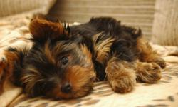 Yorkie puppy wanted! We need a new addition to the family! We would prefer first shots, and to be de-wormed! Please email me!! Thank you so much!
