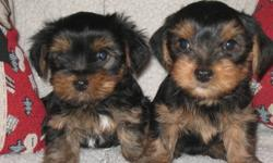 2  unregistered male yorkies soon ready for their permanent          homes.  7   weeks old now .  raised with the family in the house,  are being house trained and use paper in the house.   travel in the vehicle , sleep in a crate and follow people for a