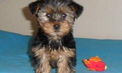 Playful, charming, and little sweethearts, these pups have had the 1st needle, and been dewormed. The parents are; mom- 9lbs yorkie, and dad- 7.5lbs yorkie. The pups are paper trained to a point, still young. The 1st & 2nd pups are the girls (pics 1-4)