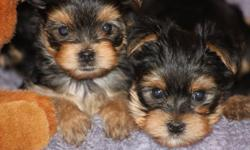 SNUGGLY YORKIE PUPS!!   PUPS ARE NOW VET CHECKED AND VACCINATED. THE PUPS WEIGH 1.7LBS - 2 LBS. THEY SHOULD BE 4 1/2- 6LBS FULL GROWN.   THESE BABIES ARE JUST SO ADORABLE. THEY LOVE PEOPLE. THEY WILL FOLLOW YOU EVERY WHERE UNTIL YOU PICK THEM UP.  The