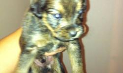 I have 3 Yorkie X puppy's that will be ready to go December 24, 2011. 2 females and one male. Great pets for all ages! I Please contact me for more information via email. This ad was posted with the Kijiji Classifieds app.