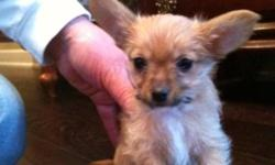 """""""Raydar """"Very tiny Chrkie = yorkie x chihuahua male stalky puppy tan color with white goatee playful and tuff with his bothers 8weeks old non shedding hypo allergenic will make a great gift for Christmas will be around 4 lbs full grown. Mom Lexi Lou is a"""