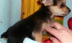 We have 2 beautiful little Yorkie/Chihuahua pups for sale. Should be 5 to 7 pounds as adults. One male and one female. Come with vet check, vaccinations, dewormings, a puppy pack and a one year guarantee. Delivery can be arranged. The first 2 pictures are