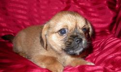1 beautiful male Yorkie x Pekinese pup left he is very good with children -Ideal for apartment or condo-Will grow to about 8 pounds -Good with other dogs-Has had his first set of needles-Been DeWormed twice-Has a health guarantee- Comes with vet