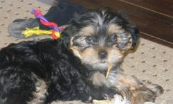 YORKIE X LHASA APSO              PUPPIE READY TO GO THE WEEK OF CHRISTMAS, TO APPROVED HOMES.   1 YORKIE X  (LHASA APSO X YORKIE)     YORKIEX 400.00 male   LOVINGLY RAISED IN MY HOME WITH LOTS OF CARE AND ATTENTION.  HAVE HAD FIRST SHOTS AND VET CHECK.