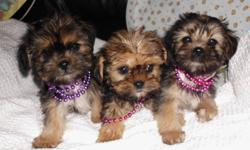 We have 3 males  available   These guys are very friendly and love to play.   They have been vet checked 1st shots      dewormed and treated with revolution   They will be fairly small as their mother (Shih Tzu) weighs under 10 lbs and their dad (Yorkie)