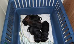 2 male 2 female puppies for sale, raised in home with parents. ready around jan 15. phone 250-768-5511