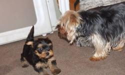 We have 3 yorkie pups.   2 males and 1 female.  They are very playful and friendly.  They are going to weight between 4 and 6 pounds full grown.  Mom is on site.   They puppies have been vet checked and first needles and de-wormed. The are ready to go on