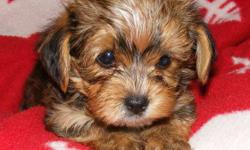 FOR SALE 3 Purebred Yorkies Males & 1 Morkie Male (Yorkie/Maltese Cross)   Teacup & Tiny Toy Puppies Available for Christmas delivery Dec. 23/11.   What better gift for your son or daughter than the love of their very own adorable puppy.    These puppies