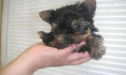 We have 3 Yorkshire terriers ready to go just in time for Xmas!!! They are absolutely GORGEOUS PUPPIES, Stunning DOLL FACES and an extraordinary TEDDY BEAR looks- SUPER DARK LINE!!! Super health, have Vet. check up, 2 sets of shots and all the preventive