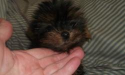 Yorkshire Terrier (Yorky) female, black and tan, CKC registered - pure breed, vet checked, vaccinated and dewormed, teddy bear face, very playful and adorable. If interested please call 604 805 4342