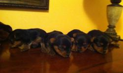Yorkie LOOKING FOR FOREVER HOME    -Yorkie pups,to be around 2-5lbs -mother 4,5 lbs silver /tan  -father 4,5 lbs silver /tan - silky soft coat - very inteligent - home raised with tons of love      Yorkies are hypo-allergic and non-shedding.     -Health