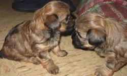 For Sale, Two adorable little female Yorkshire Terrier cross puppies.  Ready to go approx. Nov. 30th.  Non-shedding.  Mother is Registered Yorkshire Terrier and Father is Havanese cross.  Hand raised and loved! Please leave your ph # if responding by