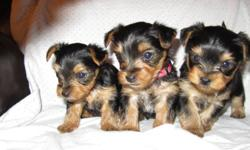 All puppies are currently reserved.  Thank you. We currently have 3 Yorkies for sale: 1 male and 2 females.  Puppies were born September 13 and will not be ready for their new homes until November 8.   Puppies will go to their new homes vaccinated and vet