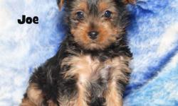 I have two very  nice purebred standard Yorkshire Terrier puppies for sale.  The puppies were born on September 28th and there is one female and one male available.  These puppies can be registered with the AKC .  The female puppy should mature in the 5 -