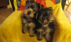 These little beauties are ready for Christmas!!!!! They have had their2nd set of shots, CKC ID chipped, home raised, well loved and socialized with lots of other animals and people. 1 male 1 female are left, give the gift of quality of a purebred CKC
