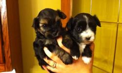 1 female and 1 male left for their new homes. Ready to join their families Jan 4 th!!!! Raised in our kitchen, well socialized and great with kids!!!! Mother - 3/4 Yorkie & 1/4 Shih Tzu Father - Purebred Yorkie PUPPIES ARE 7/8 yorkie & 1/8 Shih Tzu. Black