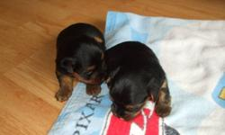 i have 1 male 1 female yorkshire terrier for sale for more info pls call 2nd picture is of the mother and third is of the father