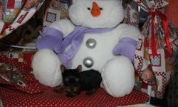 Little yorkies  D0B Oct 13. 14 and Oct 29th ready for xmas Dec 23 and  Jan 7th  I will happily keep your puppy till after xmas with a deposit/  will have vaccination to date/ vet check, and come with puppy starter package reg'd ckc kennel club