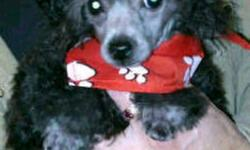 I only have one thing on my Christmas list and that is a new loving family. All I want is to have a forever family of my own to love and spoil me. I will be your best friend and cuddle buddy. I am a CKC registered silver teacup poodle. I am 13 weks old