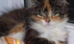Breed: Calico   Age: Young   Sex: F   Size: M Blaze may have a home, but just incase it doesn't go through, we are posting as a back-up plan! One very beautiful kitty! Visit www.petprojects.ca and fill out an online application to adopt this or any other