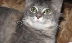 Breed: Domestic Medium Hair-gray Tabby - Grey   Age: Young   Sex: F   Size: M Sprite is a laid back female who purrs at the drop of a hat or hands, and loves to be cuddled. With a little familiarity, she is gentle and patient, thriving on attention.
