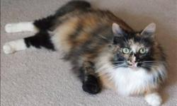 Breed: Domestic Medium Hair   Age: Young   Sex: F   Size: M Oct. 22, 2011 Dutchess is a beautiful, long-haired tortoiseshell 1 year old cat. She's got a beautiful coat of black, cream, orange, chocolate, and has beautiful green eyes as well. She has a