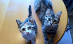 Breed: Domestic Medium Hair Tabby - Brown   Age: Young   Sex: F   Size: M Rescued from Hamilton Animal Control, currently in foster care. Rosie and Pixie were found together as strays. These two are the best of friends! Even though they are several weeks