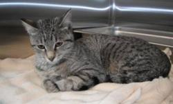 Breed: Domestic Short Hair   Age: Young   Sex: F   Size: M Cece is a very friendly girl. She is around 10 months old and love sto cuddle and play. She is very new here so keep checking for updates!   View this pet on Petfinder.com Contact: Bonnyville