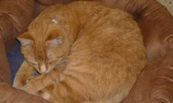 Breed: Domestic Short Hair-orange   Age: Young   Sex: F   Size: S Posted Nov. 2010. Ginger is a beautiful lady who's etiquette is sure to melt your heart! Best suited for a mature home. Please call GBAR at (705) 445-5204 or email to cdhspets@yahoo.ca.