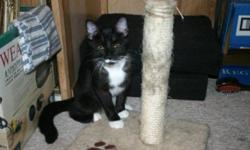Breed: Domestic Short Hair-black and white   Age: Young   Sex: F   Size: M Lucy - 6 month old black and white (tuxedo) female. Miss Lucy is a small tornado! She loves to dash about and pounce on unsuspecting playmates, playing tag and chasing her toys.