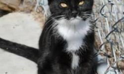 """Breed: Domestic Short Hair-black and white   Age: Young   Sex: F   Size: M Mrs. White came to the shelter with 4 young kittens mid June 2011 the kittens just old enough to be weaned. Someone rescued them when they found a kid trying to """"feed"""" one of the"""